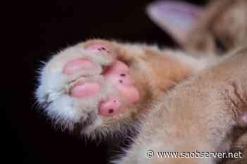 Predator mutilated cats in Kelowna: BC SPCA – Salmon Arm Observer - Salmon Arm Observer
