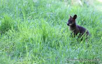 Vidéo. un wallaby aperçu dans un quartier de Marmande - Sud Ouest