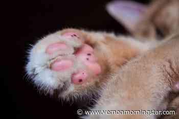 Predator mutilated cats in Kelowna: BC SPCA – Vernon Morning Star - Vernon Morning Star