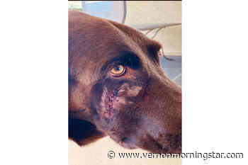 Kelowna woman's dog attacked by unlicensed pit bull: RDCO - Vernon Morning Star