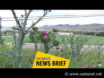 Scotch thistles are thriving in the North Okanagan area - Vernon News - Castanet.net