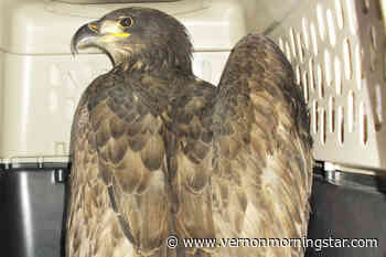 Volunteers pull off late-night eagle rescue in Salmon Arm – Vernon Morning Star - Vernon Morning Star