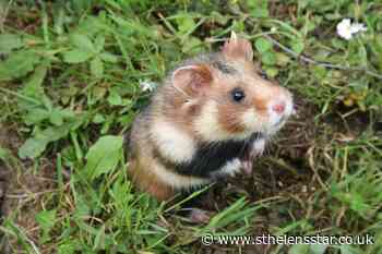 European hamster classed as critically endangered as nature crisis continues - St Helens Star
