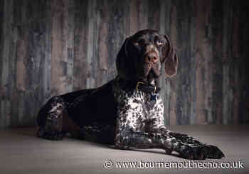 German Shorthaired Pointer collapsed after cannabis poisoning