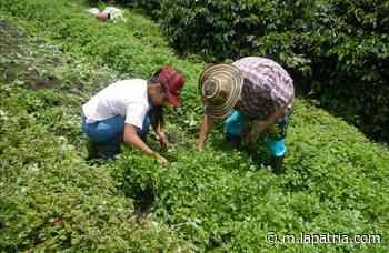 De la finca a sus casas: campesinos en Villamaría innovan - La Patria.com