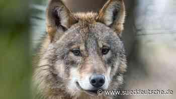 Herdenschutzhunde in Aktion: Konzept für Schutz vor Wölfen - Süddeutsche Zeitung