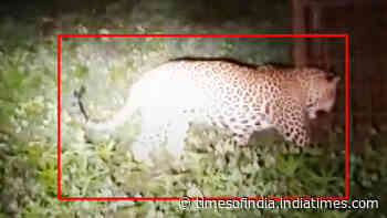 On cam: Forest dept rescues leopard from a village in Indore