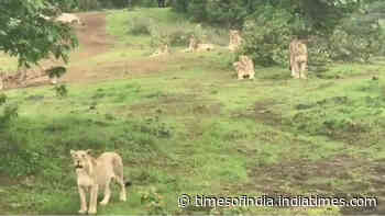 Pride of lions enjoying the sound of birds
