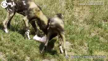 WEB EXTRA: Zoo Animals Enjoy Ice Treats On Hot Day - CBS Miami