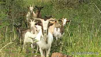 Audun-le-Tiche : seize chèvres retirées à leur propriétaire - Le Quotidien.lu