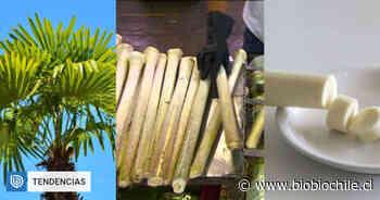 ¿De dónde vienen los palmitos? 10 vegetales y especias que no sabías cómo crecían (parte 2) - BioBioChile