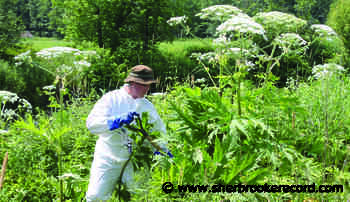 Giant hogweed control efforts ongoing in Racine - Sherbrooke Record