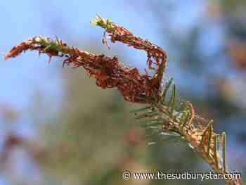 Spruce budworm infestation taking its toll