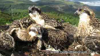 Public vote to name osprey chicks, with Vera Lynn and Captain Tom among choices