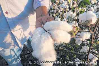 Ceará: algodão será de novo ouro branco - Egídio Serpa - Diário do Nordeste