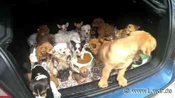 Illegaler Tierhandel: Veterinäramt Steinfurt beschlagnahmt Welpen