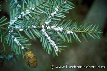 Hemlock woolly adelgid on the move in Nova Scotia, pest spotted in Lunenburg - TheChronicleHerald.ca