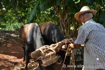Productores de Sanare están arando con bueyes y no con tractores - El Impulso