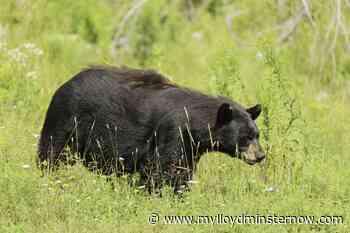"Saskatchewan reminds people to be ""Bear Aware"" - My Lloydminster Now"