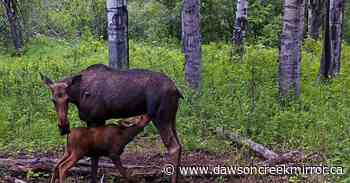 Evan Saugstad: Momma moose mania - Dawson Creek Mirror