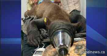 'Byron Bear' rescued from tree in London Ont., to return to wild next week