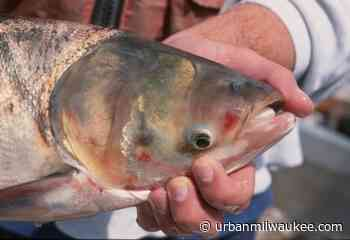 Climate Change May Help Asian Carp Thrive in Lake Michigan - Urban Milwaukee
