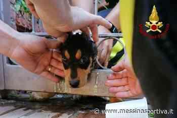 Milazzo, i Vigili del fuoco salvano un cucciolo rimasto incastrato in una grata - Messina Sportiva