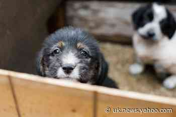 Demand for 'Pandemic Puppies' Prompts Fears Over Animal Welfare