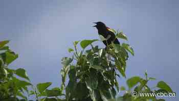 Researchers listen to birds for answers why their numbers are so low