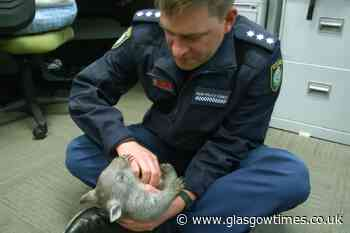 Baby wombat is new recruit at police station - Glasgow Times