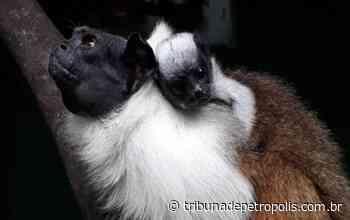 Espécie ameaçada nasce no Centro de Primatologia do Inea, em Guapimirim - Tribuna de Petrópolis