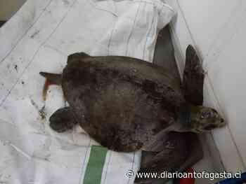 Rescatan tortuga que estaba varada en roqueríos en Tocopilla - El Diario de Antofagasta