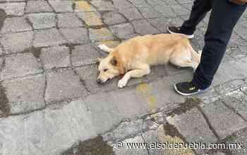 Usan lanza eléctrica contra perro en Tecamachalco; vecinos acusan maltrato - El Sol de Puebla
