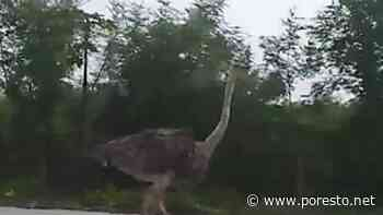 Avestruz se pasea por la carretera Kimbila-Izamal (video) - PorEsto