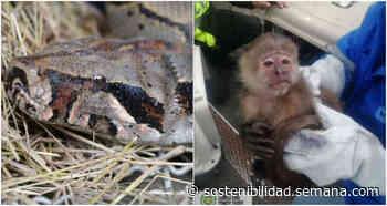 Fauna colombiana: rescatan a mono cariblanco en Fúquene ya boa en Antioquia. - Semana