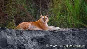 Indias only Golden Tiger spotted in Assams Kaziranga National Park - Republic World - Republic World