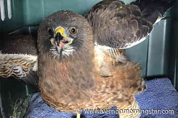 Rescued hawk returned to Lumby skies – Vernon Morning Star - Vernon Morning Star
