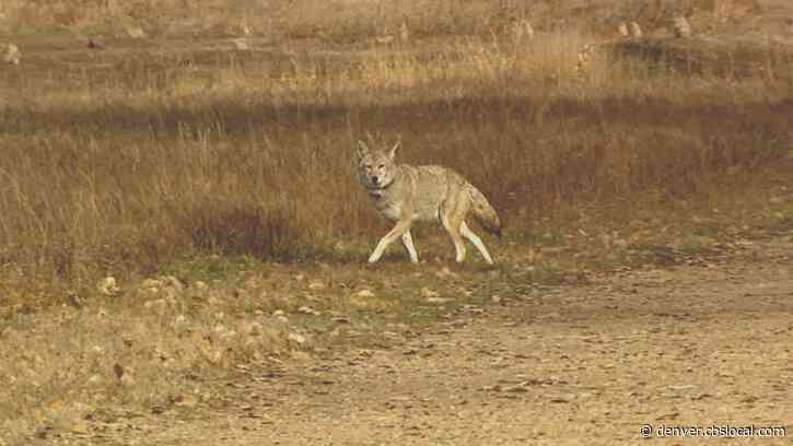 Police: Coyote Attacks Dog, Scratches Woman In Backyard In Erie