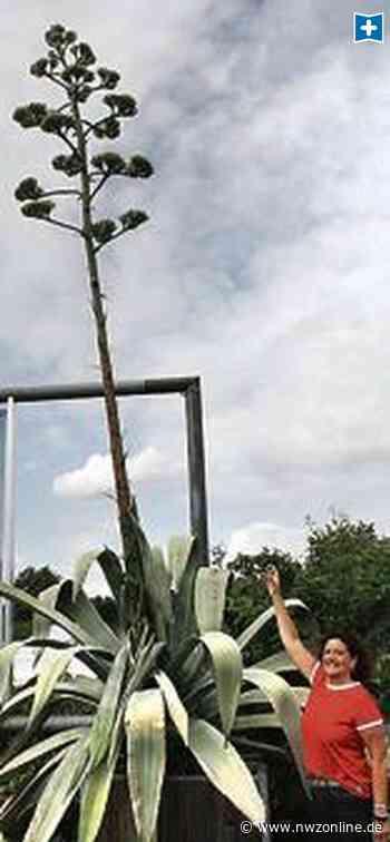 Naturschauspiel In Apen: Eine besondere Pflanze zeigt ihre Pracht - nwzonline.de