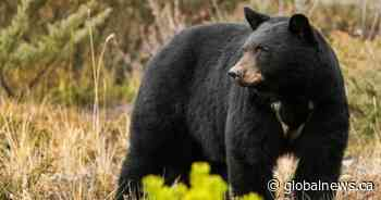 Bear euthanized after break-in at northern Saskatchewan house