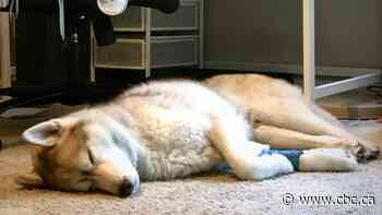 Vet warns pet owners after husky gets cannabis and possible cocaine poisoning