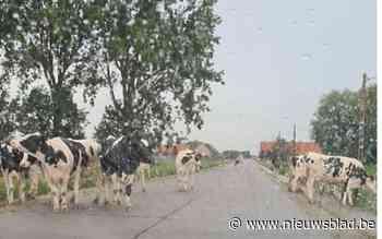 Tiental uitgebroken koeien verspert de weg (en wil niet meteen plaatsmaken)