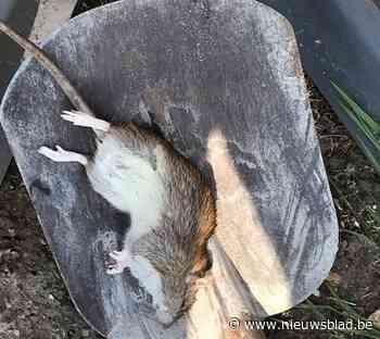 Ratten blijven zich goed voelen in de regio