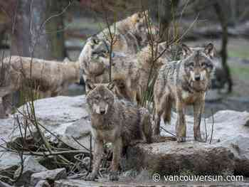 Wolf cull study for caribou conservation 'flawed,' say scientists