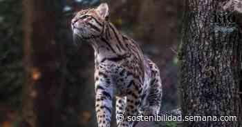 ¡Salven a los tigrillos lanudos de Tabio! - Semana