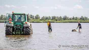 Koeien én trekker uit het water getrokken bij Lauwersoog - RTV Noord