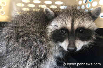 Baby raccoon rescued from 10-foot deep Saanich drainage pipe - Parksville Qualicum Beach News