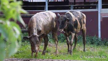 Oelde(NRW): Kühe fallen in Güllegrube - Feuerwehr rettet die Tiere - Westfälischer Anzeiger