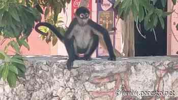 Captan a mono paseándose por Tixkokob - PorEsto