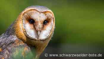 Villingen-Schwenningen: Schleiereulen brauchen Hilfe - Villingen-Schwenningen - Schwarzwälder Bote